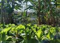 Quinze hortas comunitárias como esta da foto fazem parte da Associação dos Agricultores da Zona Leste. Foto: AAZL/Divulgação